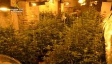 Plantación marihuana en La Penilla vecino de Castro (1)