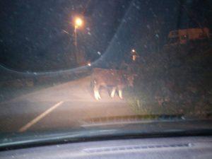 Vacas en Otañes 1