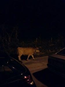 Vacas en Otañes 4