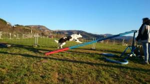Agility Adiestramiento de perros (1)