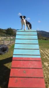 Agility Adiestramiento de perros (3)