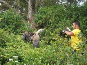 DYA rescata buitre en Oriñon (1)