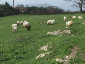 Prado con ovejas (2)