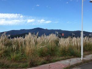 Plumeros en La Loma (1)